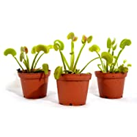 9Greenbox Venus Fly Trap, Dionaea Muscipula, 15.9 Ounce (Pack of 3)