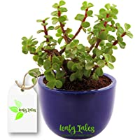 Leafy Tales Good Luck Indoor Button Jade Plant with Ceramic Urn Pot