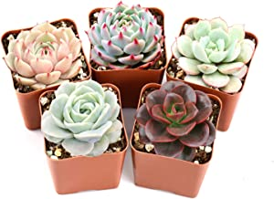 "Succulent Plants, 5 Pack of Assorted Rosettes, Fully Rooted in 2"" Planter Pots with Soil, Valentine's Day Gift Rare Varieties, Unique Real Live Indoor Succulents/Cactus Décor"