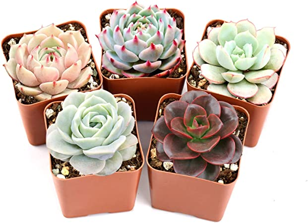 Amazon Com Succulent Plants 5 Pack Of Assorted Rosettes Fully