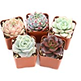 """Succulent Plants, 5 Pack of Assorted Rosettes, Fully Rooted in 2"""" Planter Pots with Soil, Valentine's Day Gift Rare Varieties, Unique Real Live Indoor Succulents/Cactus Décor"""