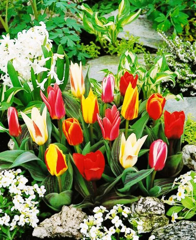 Garthwaite Nurseries 50 Mixed Miniature Tulip Bulbs Dwarf Ideal