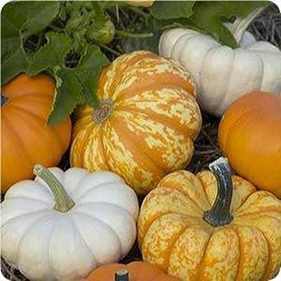 Harvest Blend Pumpkin Mix 15 Seeds 3 Little Cuties Hooligan, Gooligan & Bumpkin : Garden & Outdoor