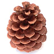 """24+ PineCones 3"""" to 3.5"""" Tall Grown On Ponderosa Pine Trees Available March 30 2020"""
