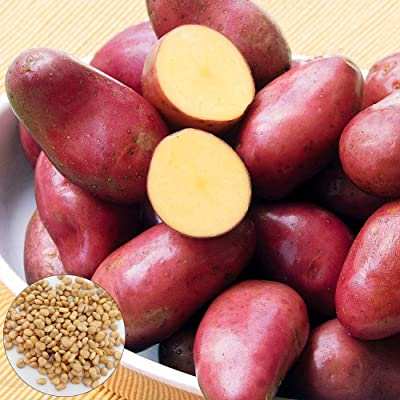WskLinft100Pcs Red Skin Potato Seeds Garden Nutritious Delicious Vegetable Farm Plant for Indoor and Outdoor All Seeds are Heirloom, 100% Non-GMO! Potato Seeds : Garden & Outdoor