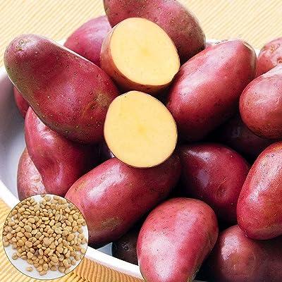 Mggsndi 100Pcs Red Skin Potato Seeds Vegetable Plant Non-GMO Easy Grow for Garden Farm : Garden & Outdoor