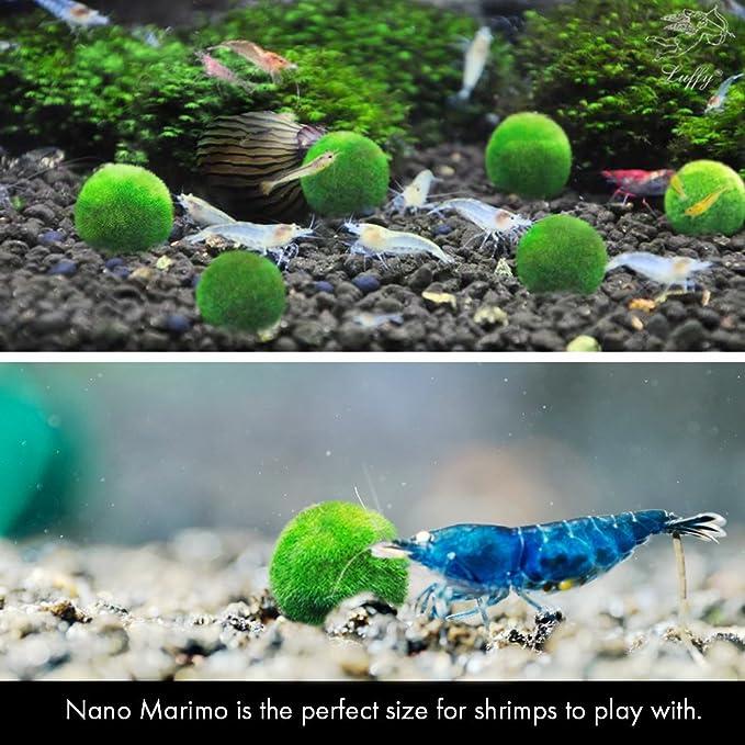 Bolas de musgo Marimo Luffy Nano, 6 unidades Planta acuática viva para acuario, apta para acuarios de peces y gambas con difusor de CO2, helechos y anubias: ...