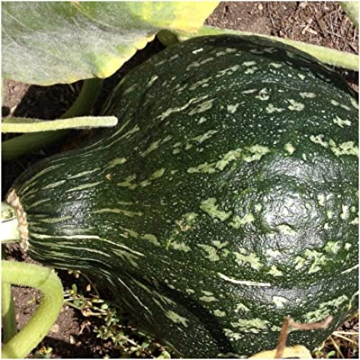 Gourd Squash Seeds (True Green Improved Hubbard), 25+ Premium Heirloom Seeds, Cucurbita Pepo, Giant Gourd Squash, (Isla's Garden Seeds), 99% Purity, 90% Germination, Non GMO, Highest Quality : Garden & Outdoor