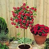 Meillandina mini standard rose Red - 1 rose