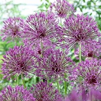 Amazon Purple Rain Allium Flower Bulbs Plant Now Late Spring