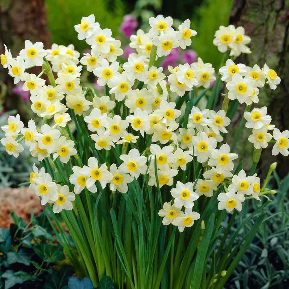 25 Spring Flowering Bulbs | Daffodil Bulbs 'Minnow' | Plants Seeds & Bulbs | Garden & Outdoors | Top Quality Spring Flowering Bulbs Plants Flowers, Variety Ready to Plant (Free UK P&P) (25) Woodland bulbs