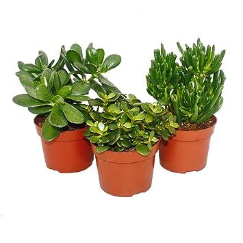Zimmerpflanzen Sonnenfenster exotenherz 3er set crassula 3 verschiedene pflanzen im 12 cm topf