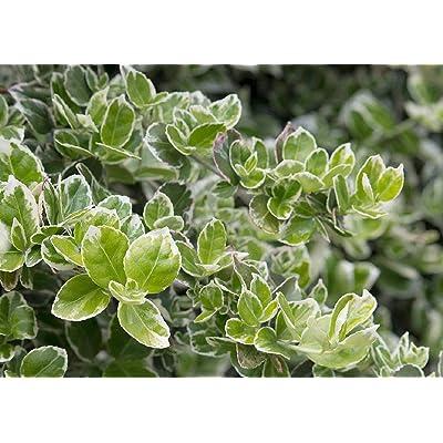 "2 Live Plant Euonymus White Gaiety 2.5"" Pot Shrubs Garden tkeen : Garden & Outdoor"