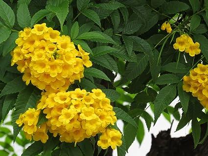 Natures buggy tecoma yellow live plantcape honeysuckle yellow elder natures buggy tecoma yellow live plantcape honeysuckle yellow elder yellow bells trumpet flower live mightylinksfo