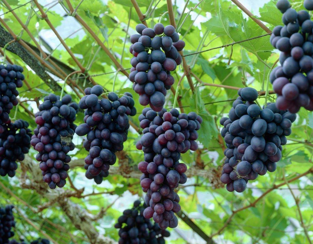 Wine Grape, Vitis vinifera, Vine Seeds (Fast, Edible, Fall Color) 120 seeds