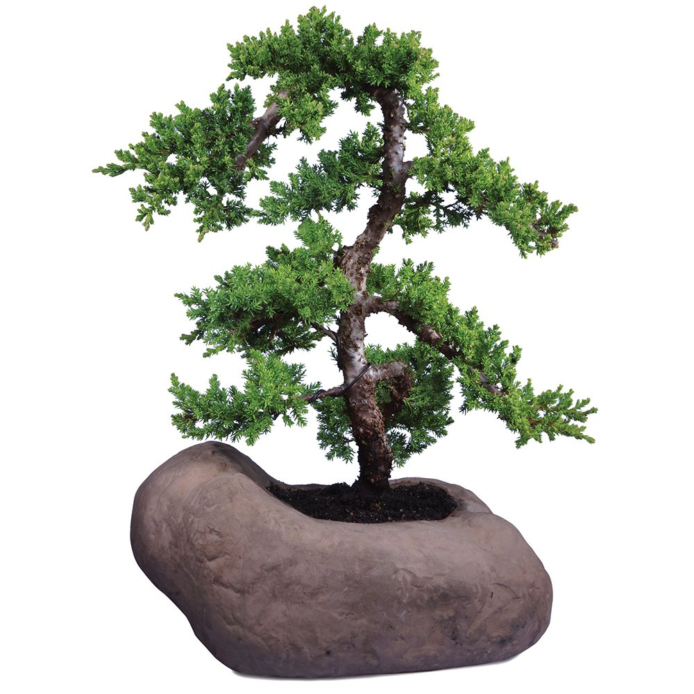 Brussel's Green Mound Juniper Over Rock Bonsai - X Large - (Outdoor) - Not Sold in California