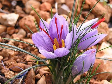 20 Saffron Crocus Flowers Seeds Herb Garden Useful Fresh Nature Perennial Plants