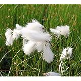 Wasserpflanzen Wolff - Eriophorum vaginatum - winterhart - scheidiges Wollgras, weiß
