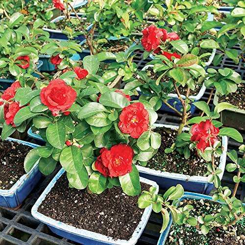 Brussel's Live Japanese Red Quince Outdoor Bonsai Tree - 3 Years Old; 10'' to 12'' Tall with Decorative Container by Brussel's Bonsai (Image #3)