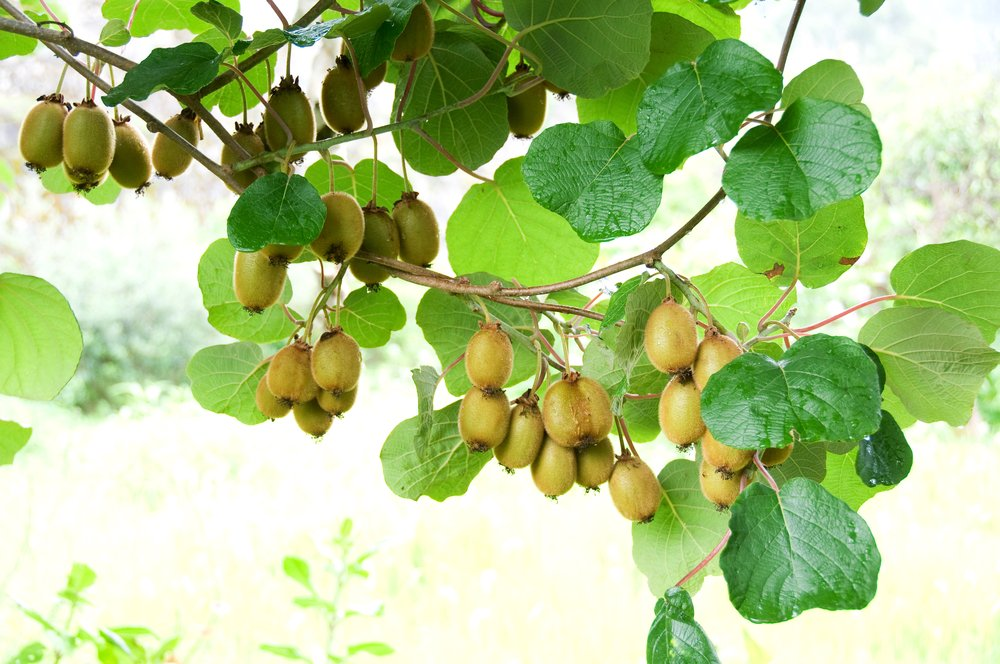 Kiwi Issai 10 Seeds - exceptionally sweet, bumper crops, hardy to -25 deg C!!! grow your secret garden