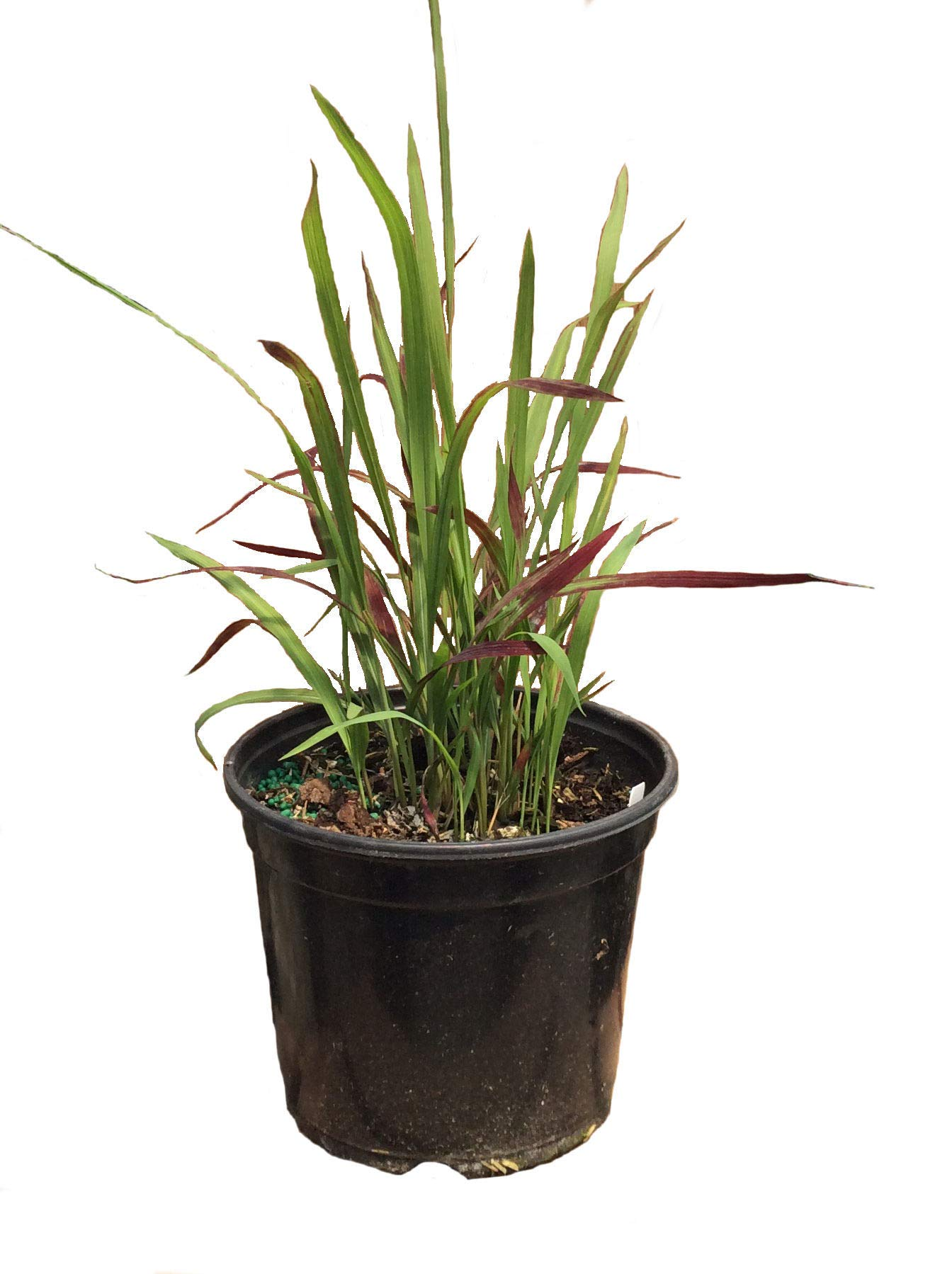 Japanese Blood Grass Red Baron in 1 Gallon pot (Red/Green)