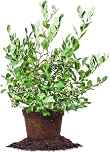 Powder Blue Blueberry - Size: 1-2 ft, Live Plant, Includes Special Blend Fertilizer & Planting Guide