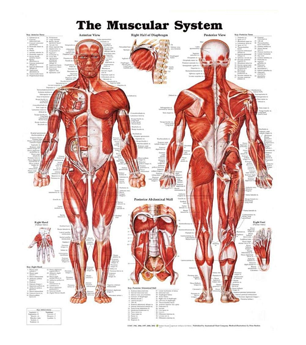 Human Muscular System Anatomical Poster Chart,Silk,Large Size:24' Width x 32' Height, for Classroom, Clinic, Hospital, Doctor's Office Used Large Size:24 Width x 32 Height Doctor' s Office Used Bemaxy