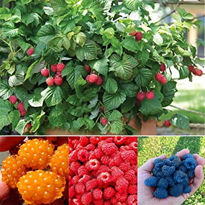 Oliote New Nice Adorable Flower Fragrant Seeds Fragrant Blooms Red Raspberry Seed Flowers : Garden & Outdoor