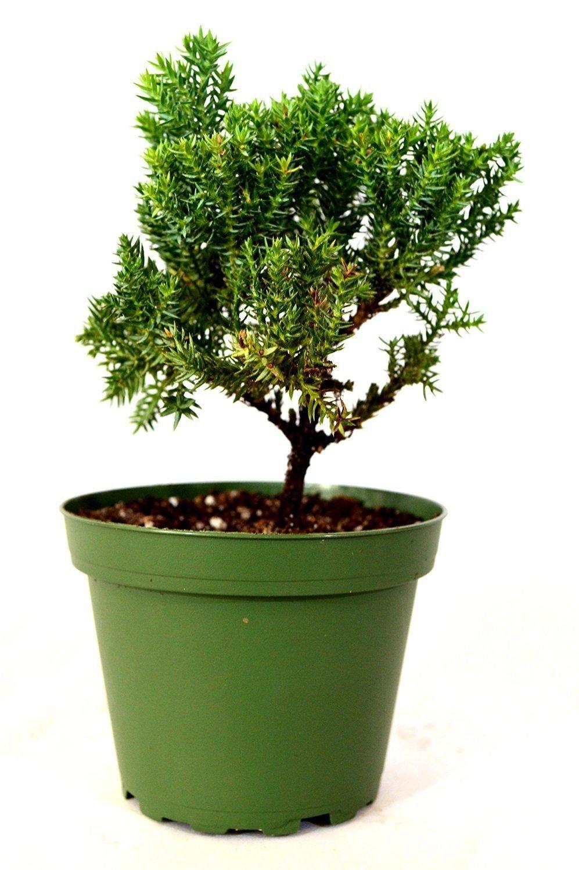 Beautiful Juniper Procumbens Nana (4'' Pot) Bonsai Starter Plant
