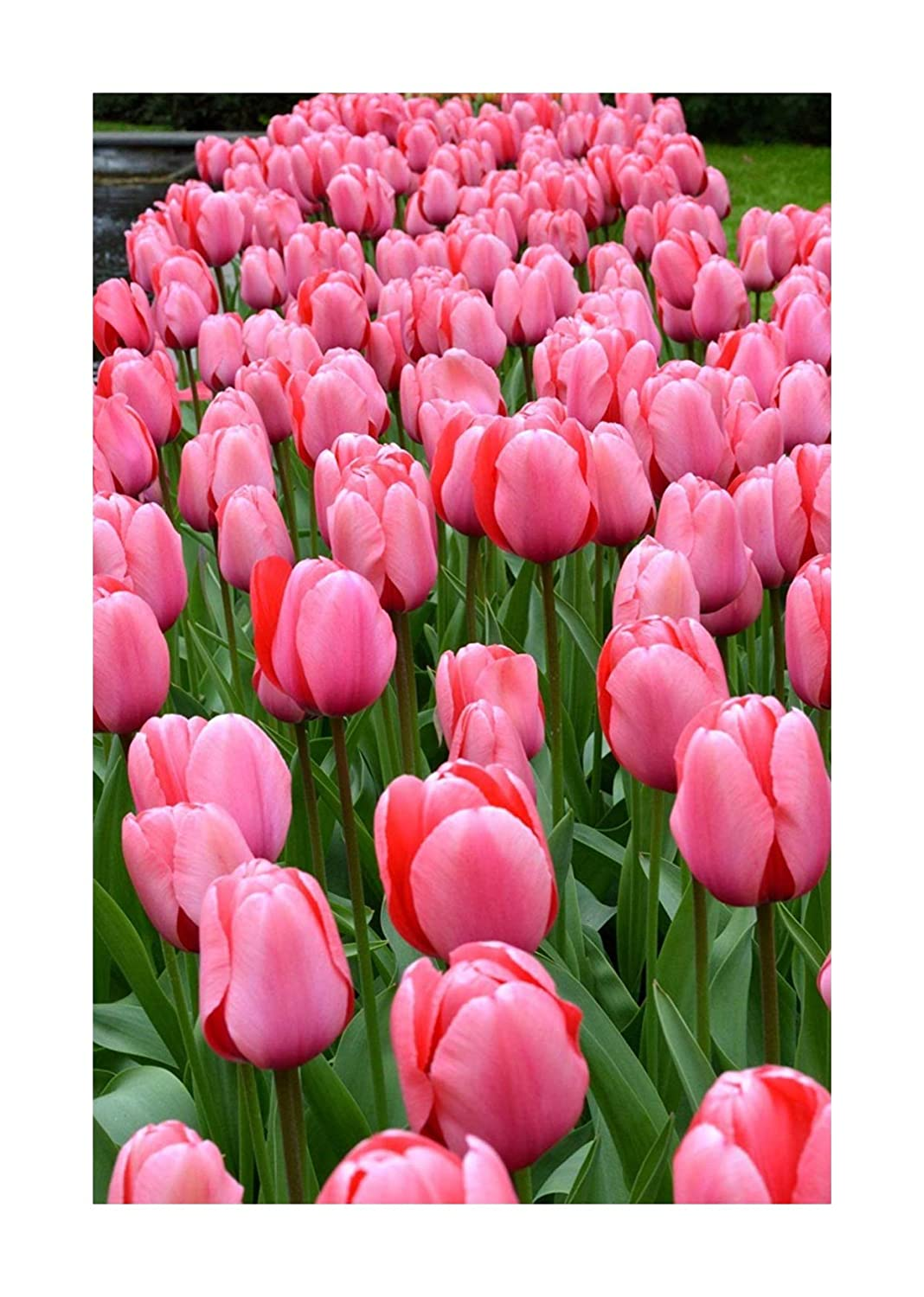25 Tulip 'Pink Impression' Tulips Spring Flowering Bulbs, Flowering Guarantee by Plug Plants Express Limited
