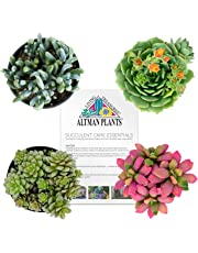 "Altman Plants Succulents Assorted Fairy Garden Collection 2.5"" 4 Pack, Colorful DIY Projects, Gifts"