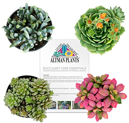 Altman Plants Succulents Fairy Garden Collection 4 Pack, 2.5u0026quot;