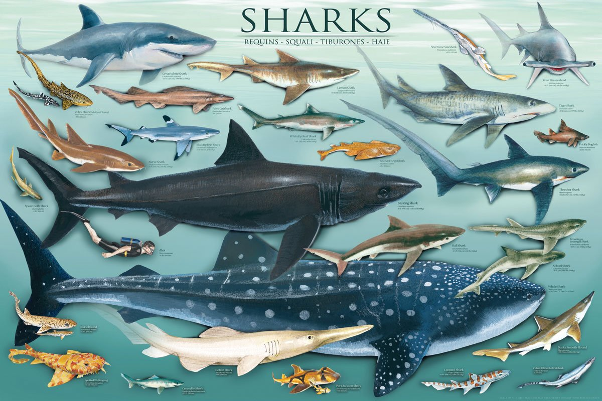 Sharks Underwater Educational Chart Poster - 24x36 Education Poster Print, 36x24