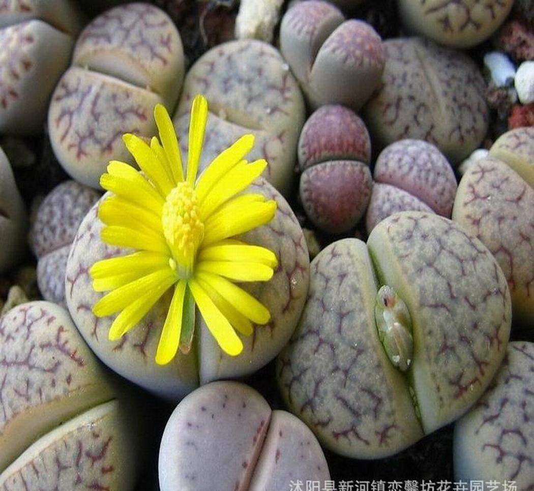 100 Pezzi Genuine Mini Succulente Lithops Semi Mix Succulento Culo Fiore Bonsai Hardy Perenne per Giardino Balcone//Patio Kisshes Giardino