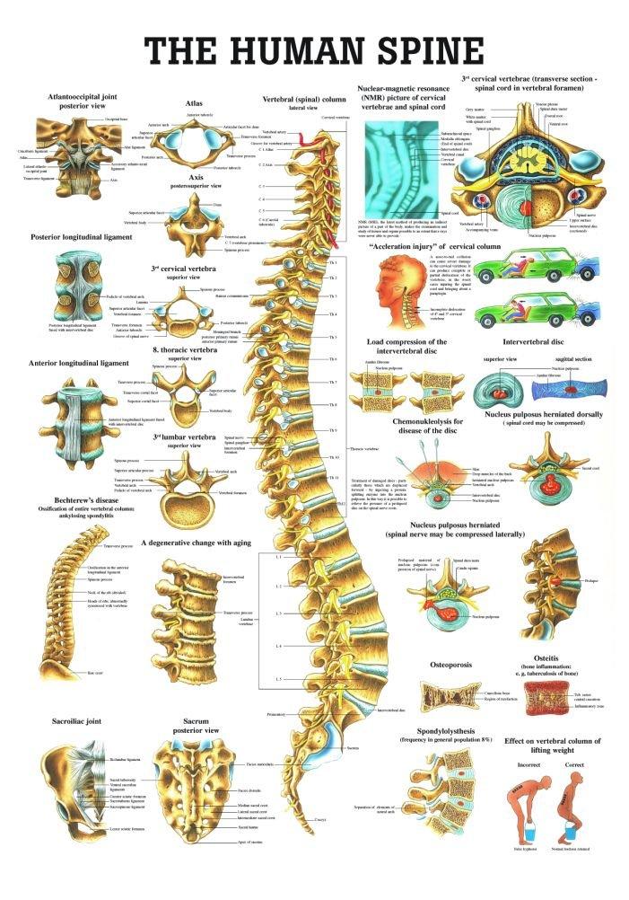 Anatomical Worldwide CH07 The Human Spine Laminated Anatomy Chart