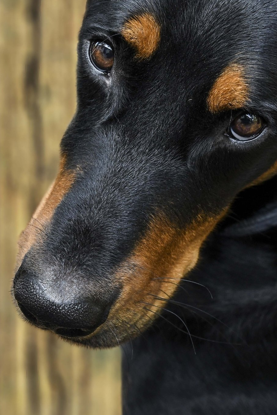 The Loving Eyes of a Beauceron Dog Journal: Take Notes, Write Down Memories in this 150 Page Lined Journa pdf