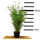 Bambus Fargesia Jumbo winterhart, hortsig und schnell-wachsend, ideal als Sichtschutz, keine Wurzelausläufer (50/70 cm hoch)