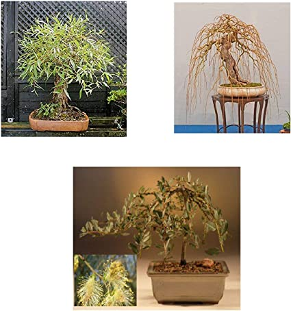 Amazon Com Bonsai Willow Tree Bundle 3 Large Trunk Bonsai Tree Cuts Get One Each Golden Curls Globe Green Weeping Ready To Plant Indoor Outdoor Bonsai Tree S Garden Outdoor