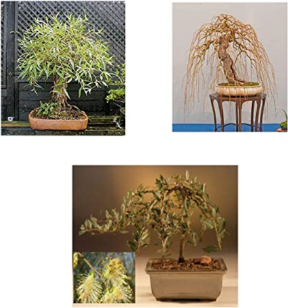 Bonsai Dragon Willow Tree Fast Growing Indoor Outdoor Bonsai Tree Cutting Large Thick Trunk Ships Bare Root Home Garden Store Garden Outdoors