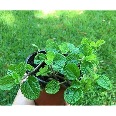 1 Well Rooted Starter Plants Young Creeping Charlie Vine Plants Garden tkcw : Garden & Outdoor