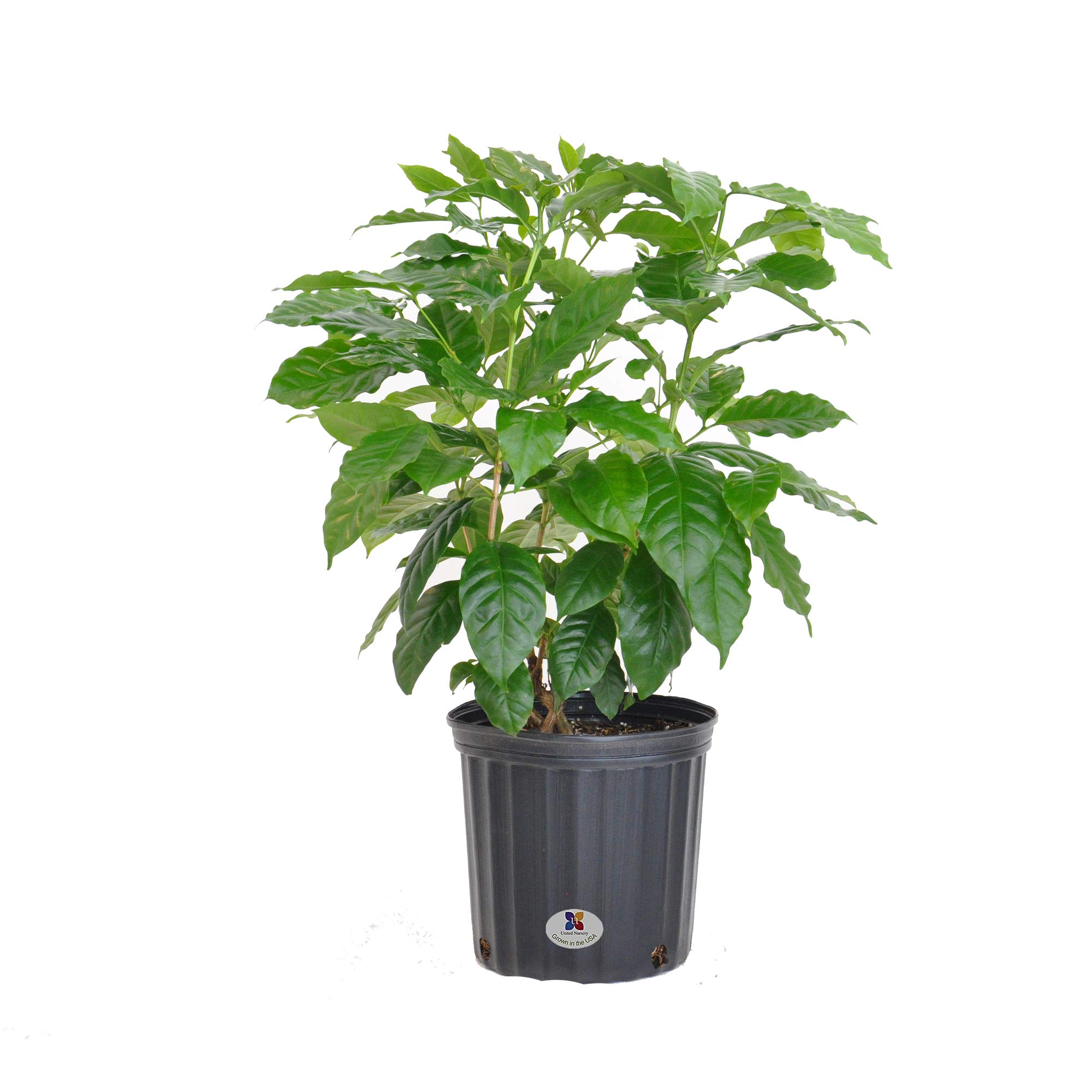 United Nursery Coffee Plant Live Indoor Coffea Arabica Tree Shipped in 9.25 inch Grower Pot 30-34 inch Shipping Size