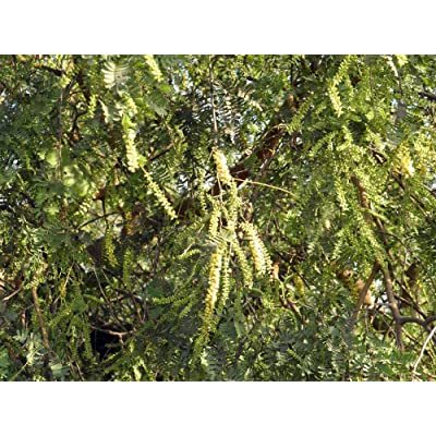 Prosopis Cineraria Khari Tree Seeds! : Garden & Outdoor