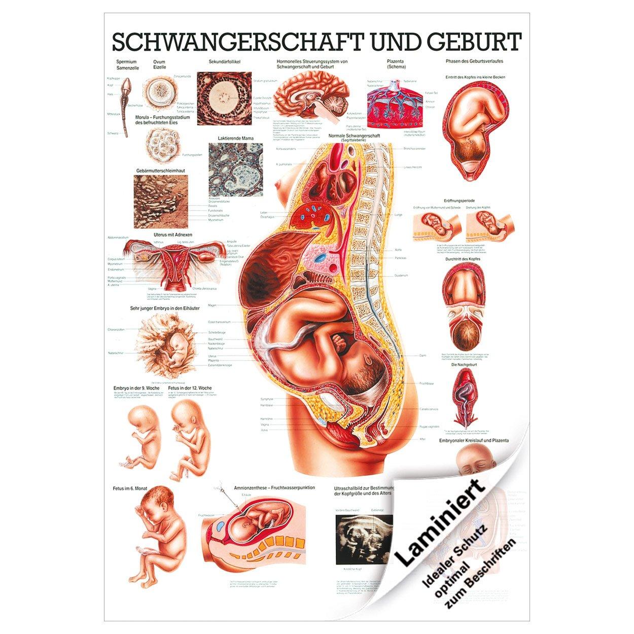 Schwangerschaft und Geburt Lehrtafel 100x70 cm medizinische ...