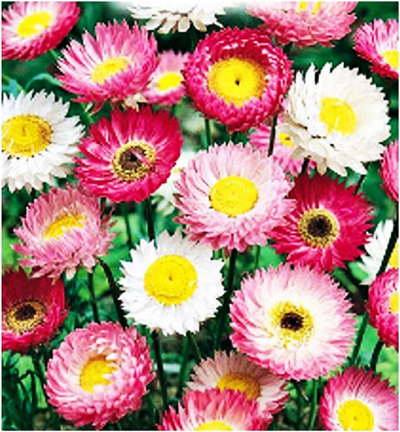 fleur l/égumes acroclinium roseum 120 graines environ fleurs Acroclinio graines de fleurs roses en m/élange id/ée cadeau originale les meilleures graines de plantes fruits rares