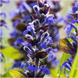 Package of 500 Seeds, Hyssop Herb (Hyssopus officinalis) Non-GMO Seeds by Seed Needs