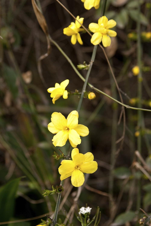 Yellow Flowers 3fatpigs/® 3 Winter-Flowered Jasmine//Jasminum Nudiflorum 2-3ft in 2L Pots