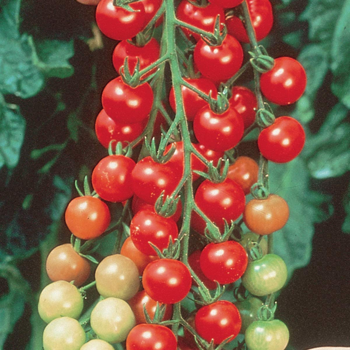Burpee Super Sweet 100' Hybrid Cherry Tomato, 3 Live Plants, 2 1/2'' Pot by Burpee (Image #1)