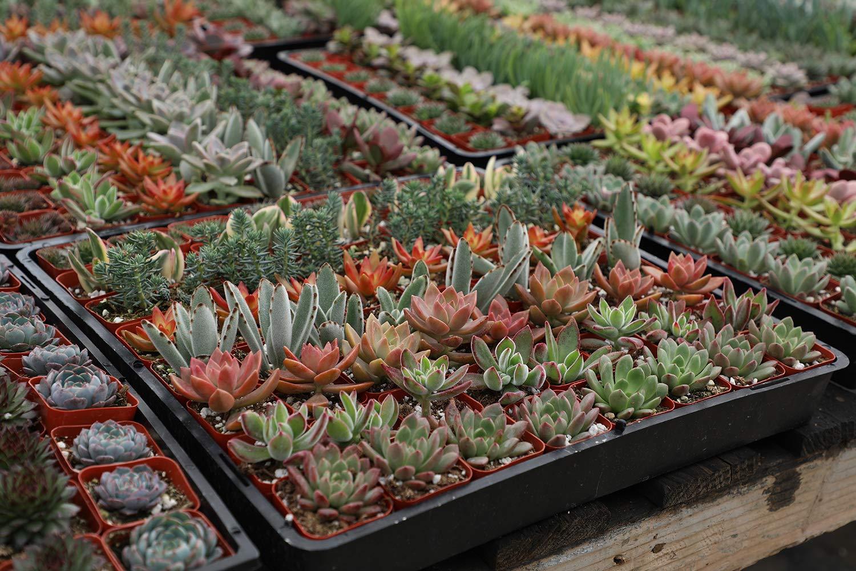 Altman Plants Mini Live Assorted Succulents Weddings, Party favors, DIY terrariums, Gifts 2'' 20 Pack by Altman Plants (Image #8)