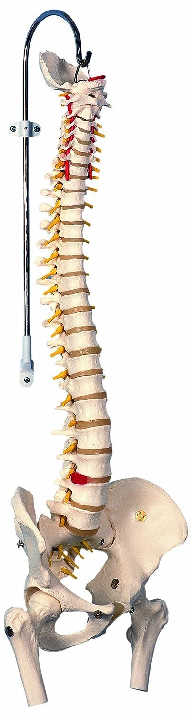 【有名人芸能人】 脊柱可動型モデル,金属管使用タイプ,大腿骨付 大腿骨付き  B007NCU9CM, 神戸堂:bf0e76bd --- a0267596.xsph.ru