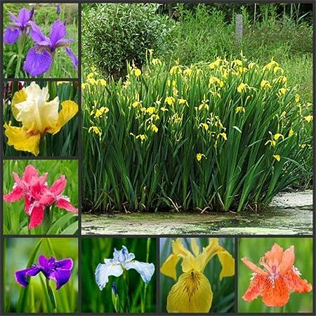 Aerlan Plantas Coloridas Semillas,Ornamentales para balcón, Jardín,Semillas de Calamus Amarillo, Planta Ornamental de Flores acuáticas-500g: Amazon.es: Hogar
